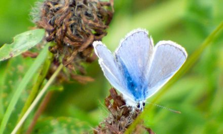 Hoverflies, Dragonflies and Butterflies around The Fold
