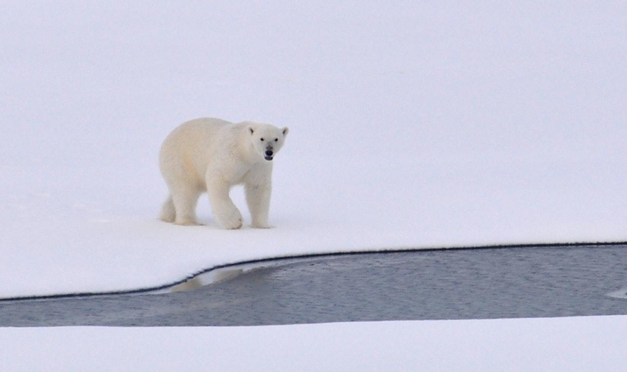 polar bear ice Arctic white