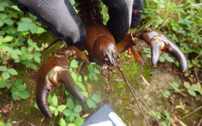 American Crayfish spreading throughout Worcestershire streams