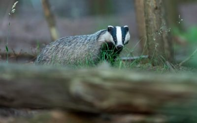 Badgers at The Fold