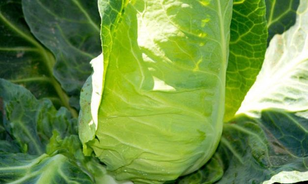 Luke's Recipe: Spring Greens with Garlic, Chilli and Yoghurt